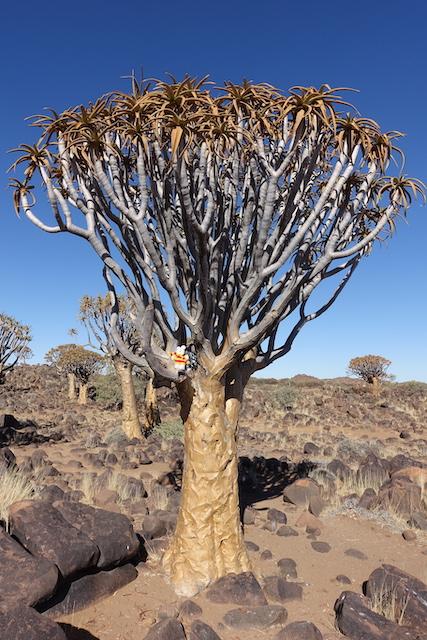 Ko Nientje in het Kokerbomenwoud (Namibië)
