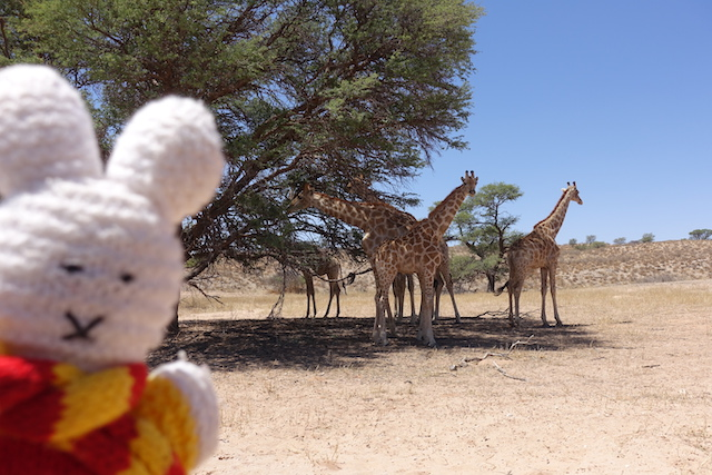 Ko Nientje in Kgalagadi Transfrontier Park (Zuid-Afrika)